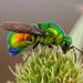 Emerald Cuckoo Wasp - Photo (c) Frank Deschandol, all rights reserved