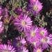 Planta de Hielo Rosa - Photo (c) Davida Blanton, todos los derechos reservados
