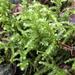 Rhytidiadelphus triquetrus - Photo (c) Wendy Feltham, όλα τα δικαιώματα διατηρούνται