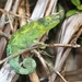 Jackson's Chameleon - Photo (c) Chris Benesh, all rights reserved