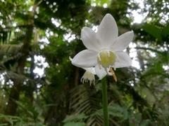 Image of Eucharis grandiflora