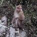 Macaca del Himalaya - Photo (c) dhan1, todos los derechos reservados