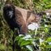 Lagothrix poeppigii - Photo (c) randyvickers, kaikki oikeudet pidätetään