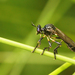Dioctria cothurnata - Photo (c) Henk Wallays, todos los derechos reservados