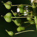 Heart-podded Hoary Cress - Photo (c) Jay Keller, all rights reserved, uploaded by Jay L. Keller