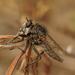 Dysmachus trigonus - Photo (c) Henk Wallays, όλα τα δικαιώματα διατηρούνται