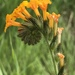 Fiddlenecks - Photo (c) cowania, all rights reserved