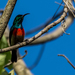 Montane Double-collared Sunbird - Photo (c) Rogério Ferreira, all rights reserved