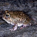 Marbled sand frog - Photo (c) herpguy, all rights reserved, uploaded by Paul Freed