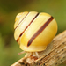 White-lipped Snail - Photo (c) Henk Wallays, all rights reserved