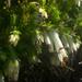 Erica banksia banksia - Photo (c) Chris Whitehouse, todos los derechos reservados