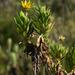 Ursinia eckloniana - Photo (c) Chris Whitehouse, todos los derechos reservados