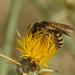 Halictus scabiosae - Photo (c) Henk Wallays, όλα τα δικαιώματα διατηρούνται