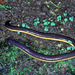 Common Yellowband Caecilian - Photo (c) herpguy, all rights reserved, uploaded by Paul Freed