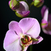 Moth Orchids - Photo (c) Peter Stenzel, some rights reserved (CC BY-ND)