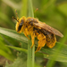 Buff-tailed Mining Bee - Photo (c) Henk Wallays, all rights reserved