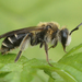 Proxiandrena - Photo (c) Henk Wallays, all rights reserved