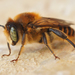 Woodborer Bees - Photo (c) Henk Wallays, all rights reserved