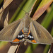 Palm Moth - Photo (c) Henk Wallays, all rights reserved