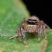 Maripanthus jubatus - Photo (c) Jithesh Pai, all rights reserved
