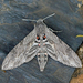 Convolvulus Hawkmoth - Photo (c) Nigel Voaden, all rights reserved