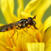 Pelecocera tricincta - Photo (c) Henk Wallays, όλα τα δικαιώματα διατηρούνται