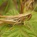 Euchorthippus declivus - Photo (c) Henk Wallays, todos los derechos reservados