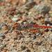 Crocothemis divisa - Photo (c) Nigel Voaden, todos los derechos reservados