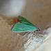 Parotis baldersalis - Photo (c) Nigel Voaden, todos los derechos reservados
