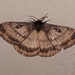 Eupterotidae - Photo (c) Ian Pearson, כל הזכויות שמורות