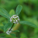 Smooth False Buttonweed - Photo (c) Eric Hunt, all rights reserved