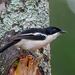 Tropical Boubou - Photo (c) Nigel Voaden, all rights reserved