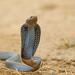 Black-necked Spitting Cobra - Photo (c) Nigel Voaden, all rights reserved