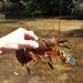 Euastacus spinifer - Photo (c) Nsharman, todos los derechos reservados
