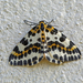 Magpie Moth - Photo (c) Nigel Voaden, all rights reserved