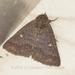 Hypersypnoides submarginata - Photo (c) Roger C. Kendrick, כל הזכויות שמורות