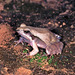 Pale-legged Weeping Frog - Photo (c) herpguy, all rights reserved, uploaded by Paul Freed