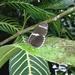 Heliconius sara sprucei - Photo (c) rudygelis, todos los derechos reservados