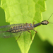 Raphidiid Snakeflies - Photo (c) Henk Wallays, all rights reserved