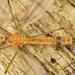 Tipula lunata - Photo (c) Henk Wallays, todos los derechos reservados