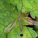 Tipula paludosa - Photo (c) Henk Wallays, todos los derechos reservados