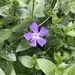 Greater Periwinkle - Photo (c) jotadem, all rights reserved