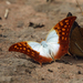 Pearl Charaxes - Photo (c) Nigel Voaden, all rights reserved