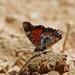 Charaxes jahlusa argynnides - Photo (c) Nigel Voaden, todos los derechos reservados