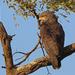 Banded Snake-Eagle - Photo (c) Nigel Voaden, all rights reserved