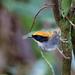 Conopophaga melanops - Photo (c) Nigel Voaden, todos los derechos reservados