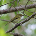 Hangnest Tody-Tyrant - Photo (c) Nigel Voaden, all rights reserved