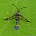 Sesiidae - Photo (c) Juan Carlos Garcia Morales, todos los derechos reservados
