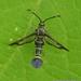 Sesiidae - Photo (c) Juan Carlos Garcia Morales, todos os direitos reservados