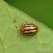 Agroiconota - Photo (c) Juan Carlos Garcia Morales, todos los derechos reservados